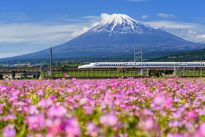Shinkansen or JR Bullet train running pass through Mt. Fuji and Shibazakura at spring. Super high speed train N700 can transit between Tokyo and Osaka. Fujisan Pink Shinkansen Transportation Beauty In Nature Bullet Train Day Flower Flowers Freshness Garden Landmark Landscape Mountain Mountain Range Nature No People Outdoors Plant Scenics Shibasakura Sky Spring Tranquility Travel Destinations