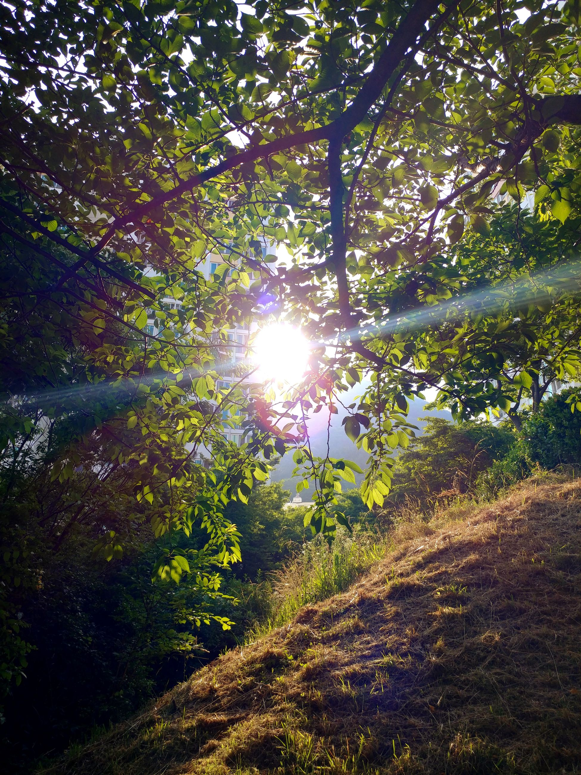 nature, tree, sunbeam, sun, growth, sunlight, lens flare, beauty in nature, tranquility, outdoors, tranquil scene, scenics, no people, day, forest, branch, plant, grass