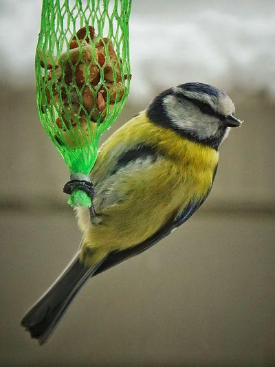 kohlmeise Vogel