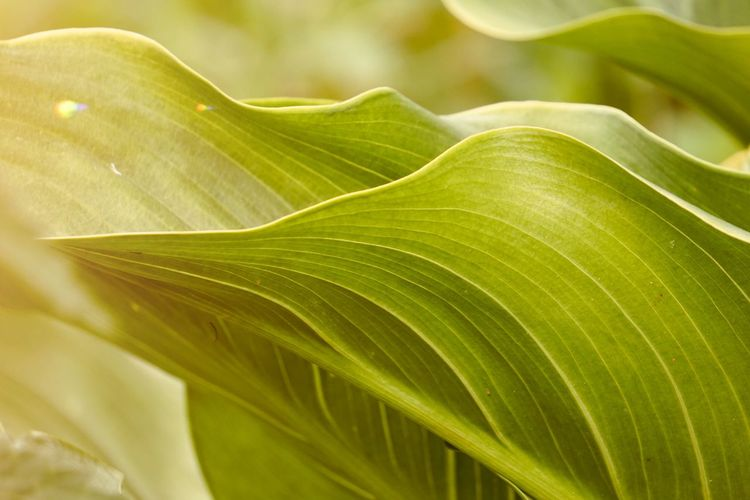 green plant leaves textured in the garden in summer Plant Leaf Leaves Green Color Colorful Nature Garden Beauty In Nature Beautiful Fragility Freshness Background Textured  Growth Plant Part Close-up No People