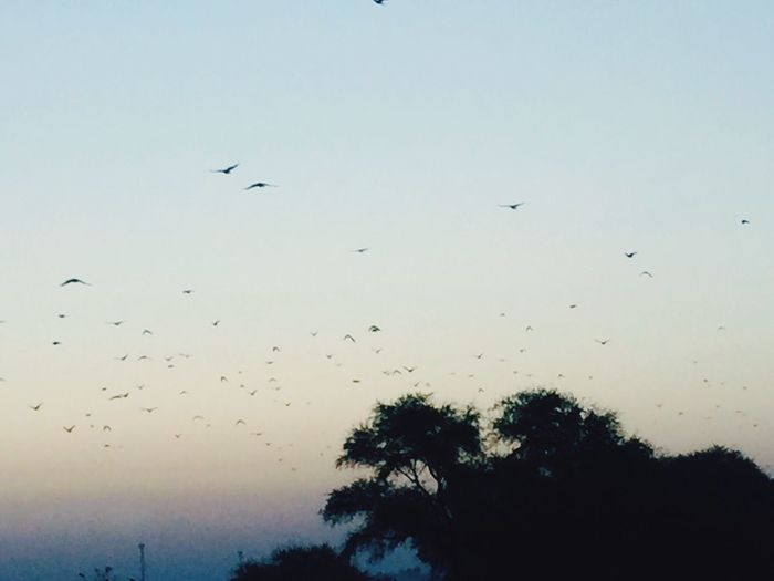 Flying Bird Large Group Of Animals Flock Of Birds Animal Themes Silhouette Beauty In Nature Sky Sunset Nature Outdoors Tree