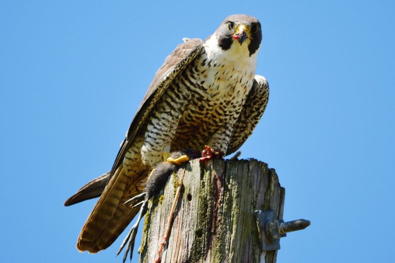 Low Angle View Of Bird Perching On Wooden Post Against Clear Blue Sky