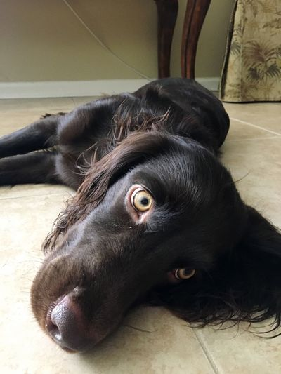 Cute Kona Boykin Spaniel Animal