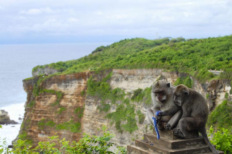Macaques in Uluwatu Bay - Bali - Indonesia Bali INDONESIA Macaque Monkey Uluwatu