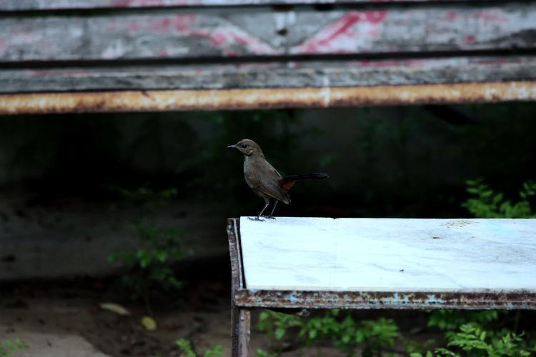 Indian Robin Robin Robin Bird A Bird Check This Out Bird Bird Photography Bird On A Table Alone Bird Beautiful Beautiful Bird