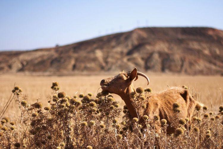 Goat on landscape against sky