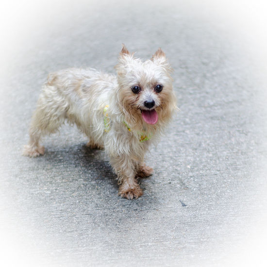 Yorkie portrait Animal Themes Cute Day Dog Dog Portrait Domestic Animals Full Length Looking At Camera Mammal No People One Animal Outdoors Pets Portrait Purebred Sticking Out Tongue Yorkie Yorkshire Yorkshire Terrier