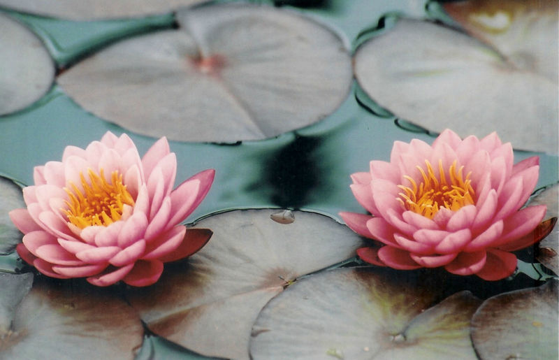 Beauty In Nature Blooming Close-up Flower Flower Head In Bloom Nature No People Softness Water Lily