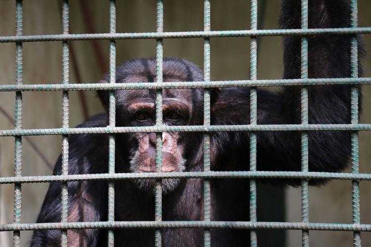 Portrait of chimpanzee in cage