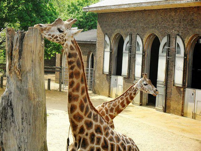 EyeEm Nature Lover Zoo Animals  Giraffe ♡ Girafe Giraffes! Giraffe♥ Giraffes Giraffe Nature Beautiful Animals Zoo EyeEm Animal Lover Animal Photography EyeEm Best Shots EyeEm Best Shots - Nature Nature Photography Beautiful Nature Nice Shot Photooftheday