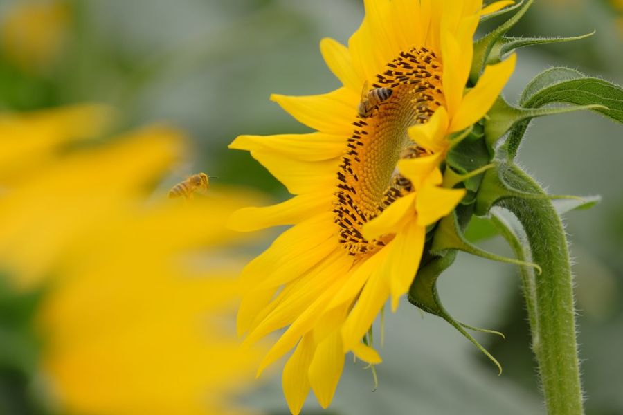 43 Golden Moments Sunflower Bee Yellow Insects  Beauty In Nature Symbiotic Relationship Wildlife Botany EyeEm Nature Lover Fujifilm Fujifilm_xseries FUJIFILM X-T10 Xc50230 Pro Neg. Hi The Purist (no Edit, No Filter) Showcase July
