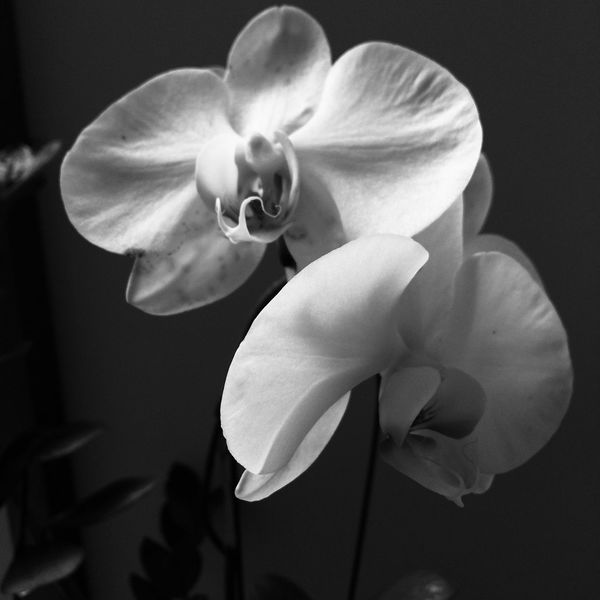 Flower Petal Flower Head Fragility Beauty In Nature Nature Growth Freshness Plant Close-up Orchid No People Black Background Day Outdoors Flower Collection Brazil EyeEM Brazil Collection Photo EyeE B&W Photos