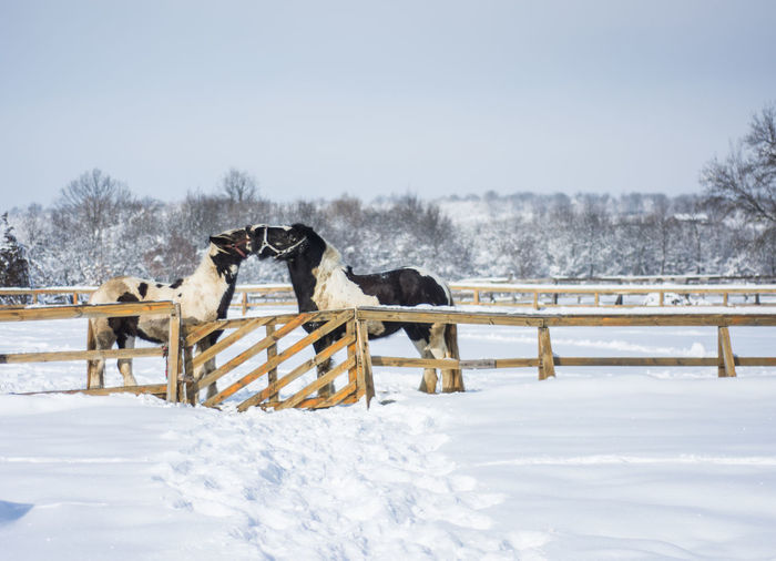 Horses mating on snowy field against clear sky during winter