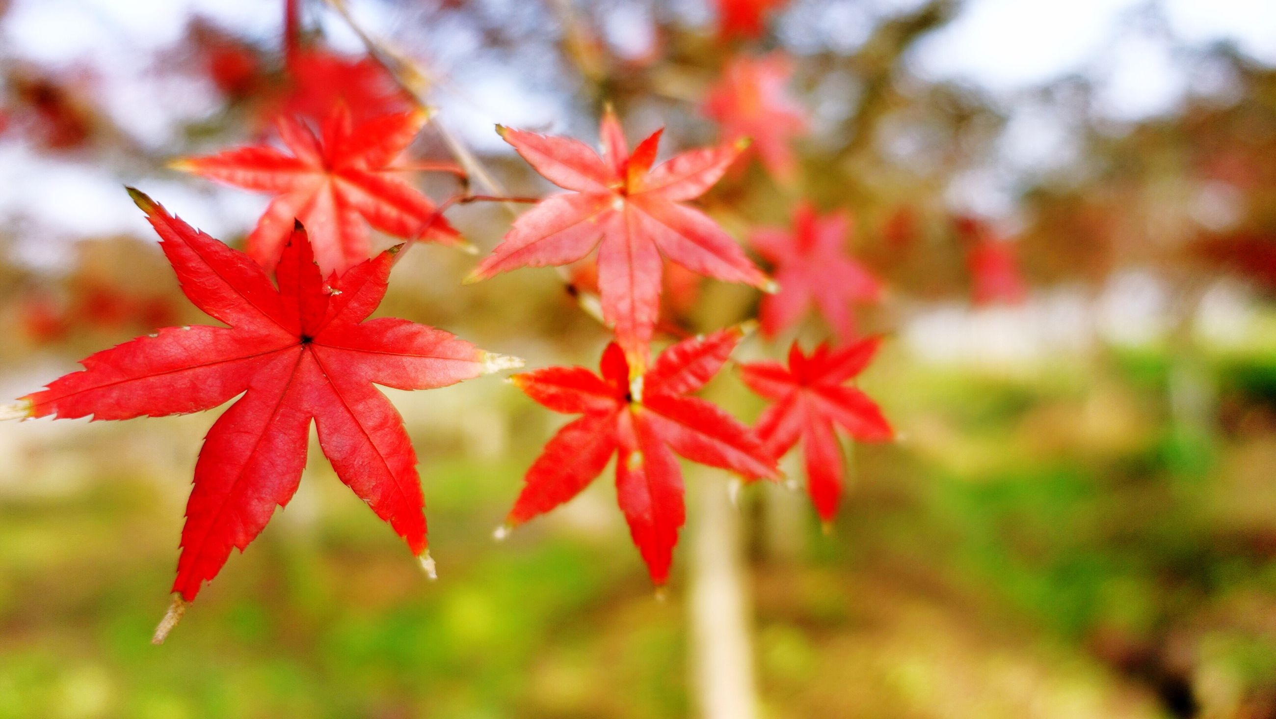 red, growth, close-up, nature, no people, maple leaf, beauty in nature, day, outdoors
