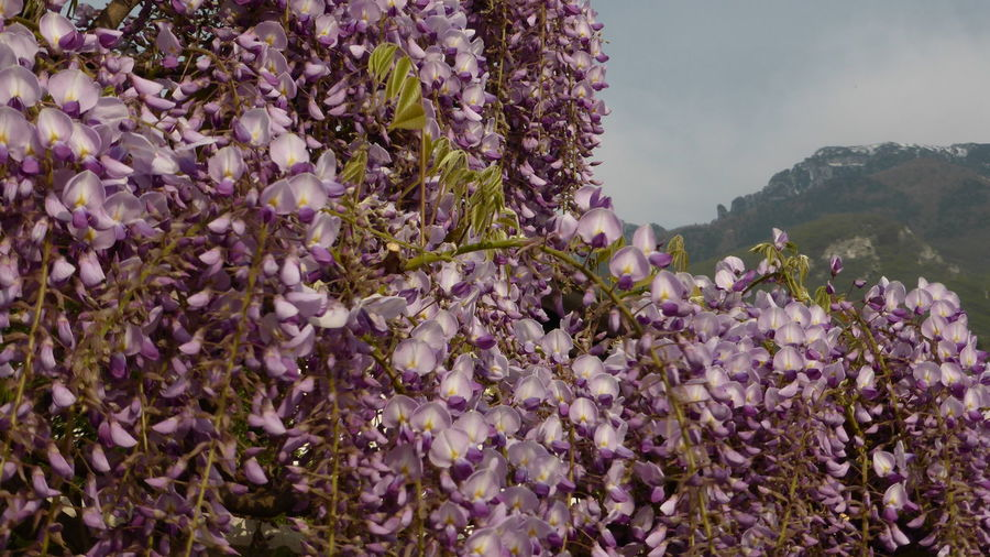 Close-up of pink wisteria  plants against blue sky