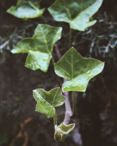 Leaf Nature Plant Green Color Close-up No People Outdoors Day Freshness Ivy Water Beauty In Nature
