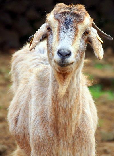 A goats