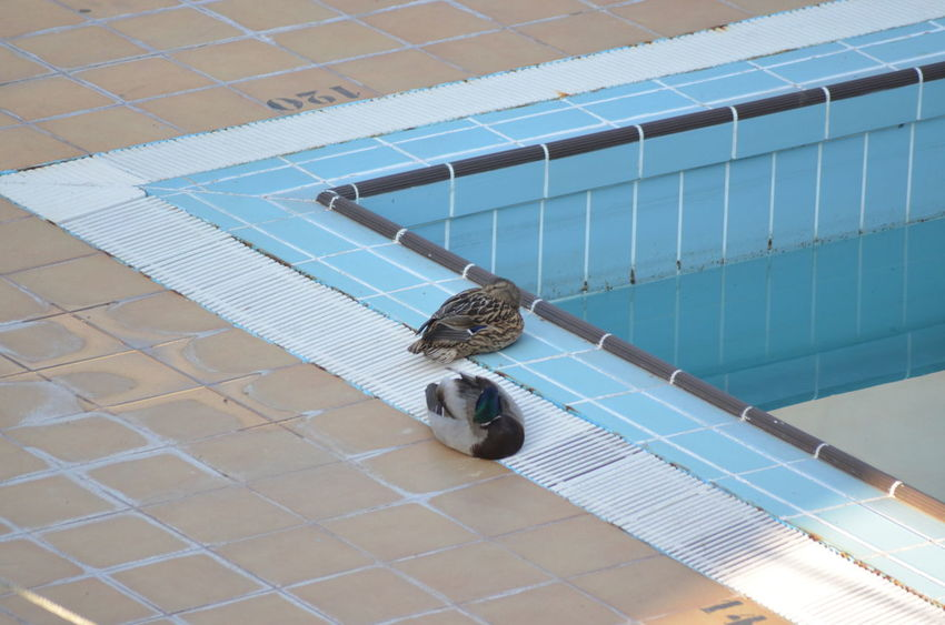 Patos en la piscina Day Duck High Angle View No People Suimming Pool Pato 2015  Eddl Animal Wildlife