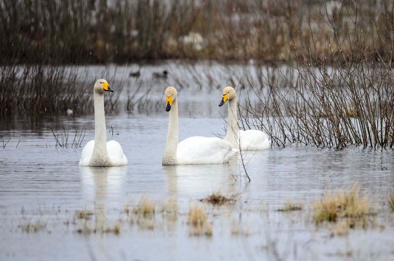 Whooper swans at lake hornborga