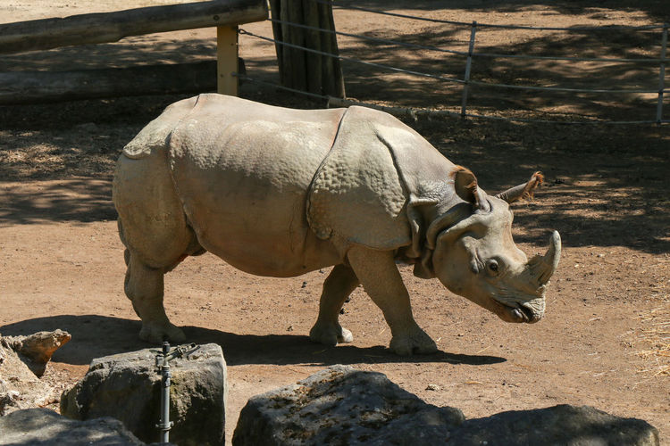 rhinoceros in zoo Animal Animal Themes Sunlight Mammal Vertebrate Shadow Nature Domestic Animals Livestock One Animal No People Animal Wildlife Day Field Land Pets Domestic Standing Animals In The Wild Outdoors Herbivorous Rhinoceros