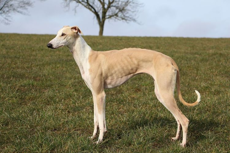 beautiful galgo is standing in the garden Galgo Galgo Español. Standing Animal Themes Close-up Day Dog Domestic Animals Field Full Length Galgo Espanol Galgoespañol Grass Mammal Nature No People One Animal Outdoors Park Pets Portrait Sighthound Sky Tree Windhund