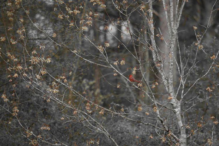 Shades Of Grey Cardinal Blackandwhite Blackandwhite Photography Nature Photography Birds_collection Bird Photography EyeEm Birds