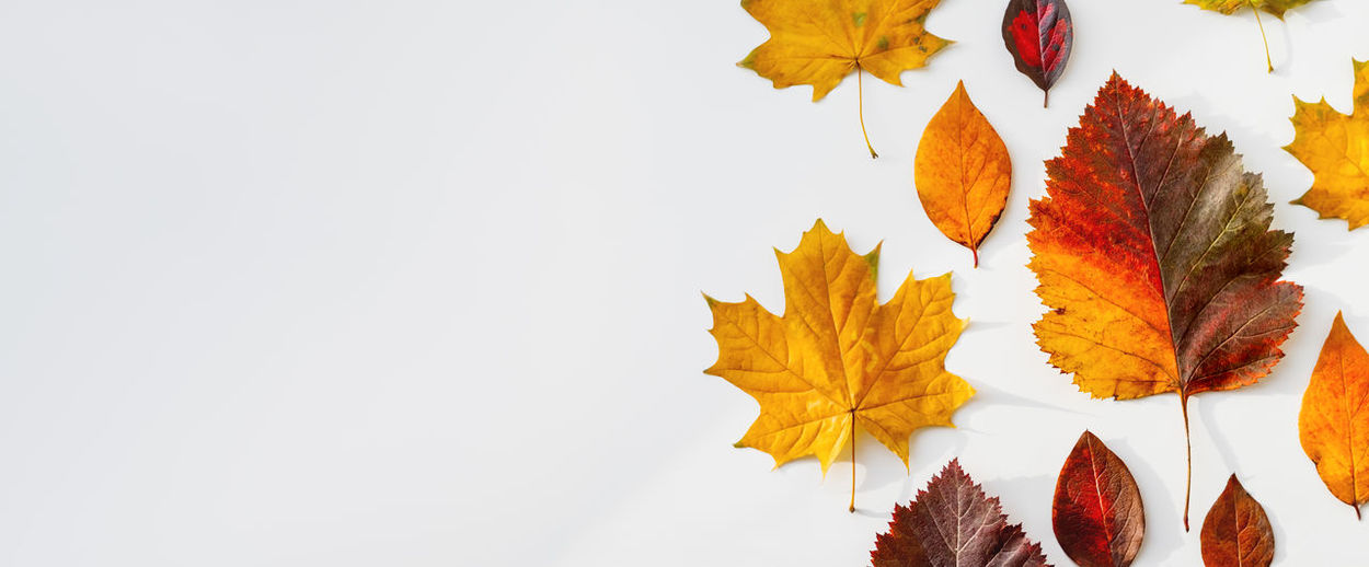 Close-up of autumn leaves against white background