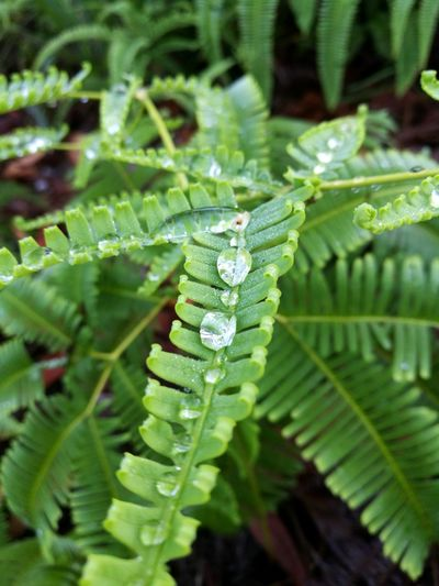 Mountain dew Fern Sabah Borneo Bukit Padang Hiking Dew Leaf Fern Insect Close-up Animal Themes Plant Green Color