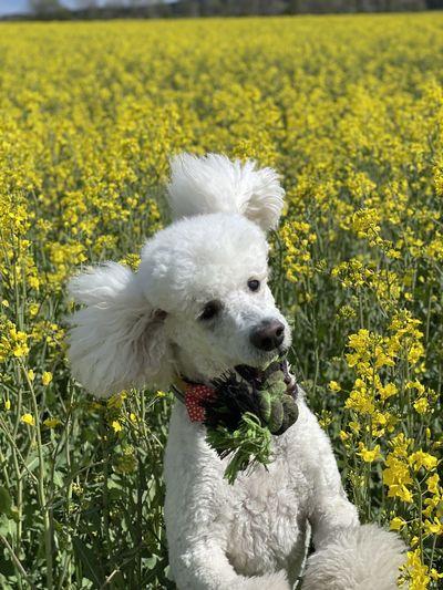 White dog in field