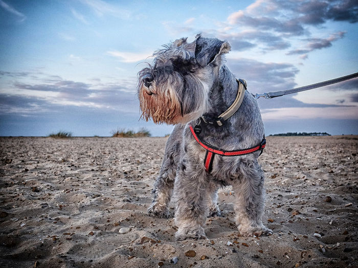 Dog Miniature Schnauzer Beach Wells-next-the-Sea Norfolk Uk Fujifilm X30 Colour Of Life