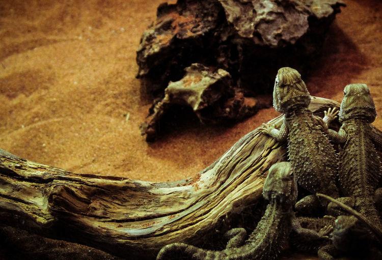 Close-up Day Desert Lizard Lizards No People Outdoors Reptile Textured