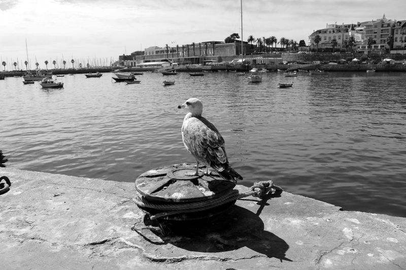 Seagull Blackandwhite Boats Calm Sea Dock Enjoying The View Birds_collection Bird Photography Eye4photography  EyeEm EyeEm Best Shots Eye4black&white  EyeEm Nature Lover Eyeemphotography EyeEmBestPics Water Black & White Black And White Urban Landscape Minimalism Seaside Taking Photos Baia De Cascais Portugal My Best Photo 2015