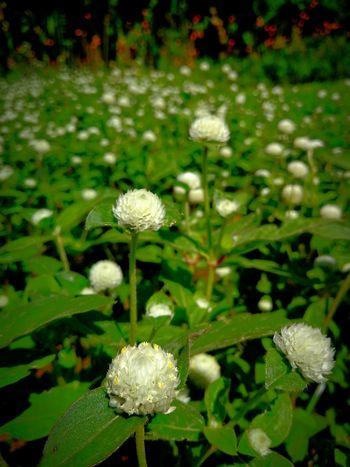 white blossoms Flower Head Flower Leaf Sunlight Close-up Plant Green Color Botanical Garden Flowering Plant In Bloom Plant Life Petal Blossom Botany
