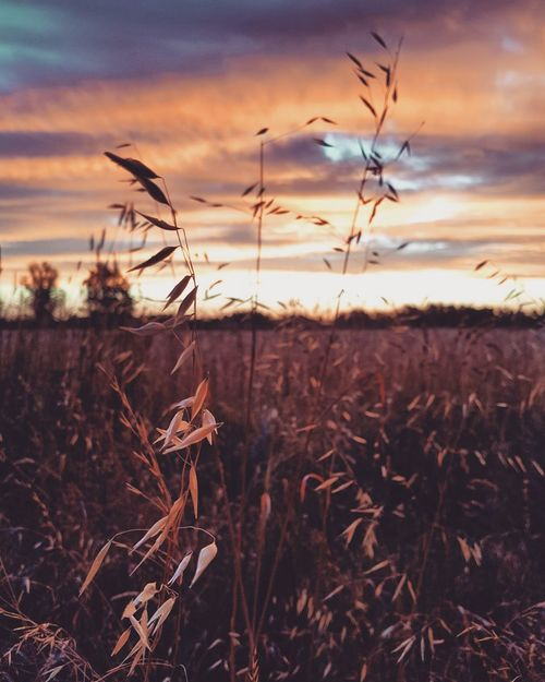 Timeless EyeEm Selects Sunset Nature Cereal Plant Dusk Rural Scene Agriculture Field Beauty In Nature Plant Landscape