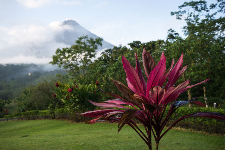 Arenal  Arenal Volcano National Park Costa Rica Beauty In Nature Flower Freshness Nature No People Outdoors Tree Volcanic Landscape Volcano