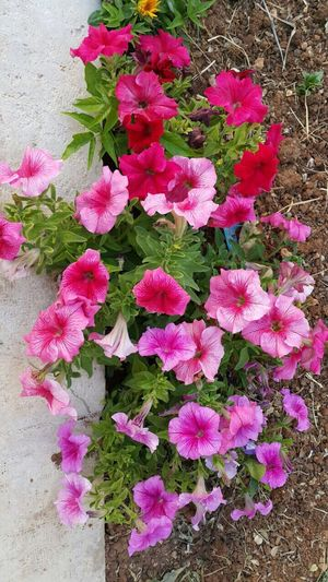 Flower Growth Beauty In Nature Nature No People Outdoors Flower Head Leaf Freshness Day Pink Color زهور ورد سبحان الله وبحمده ، سبحان الله العظيم 🌺 Fiore🌼🌻🌺