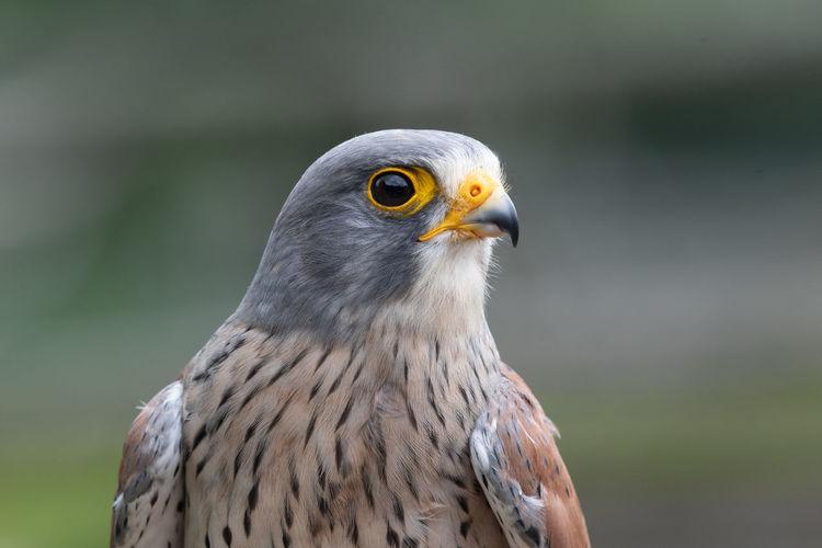 Close up portrait of a common kestrel