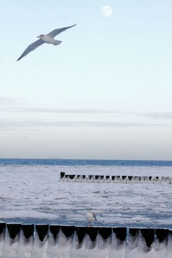 Animal Themes Animals In The Wild Baltic Sea Winter Beauty In Nature Bird Day Flying Horizon Over Water Ice Mid-air Motion Nature No People Outdoors Scenics Sea Seagull Sky Snow Spread Wings Water Winter