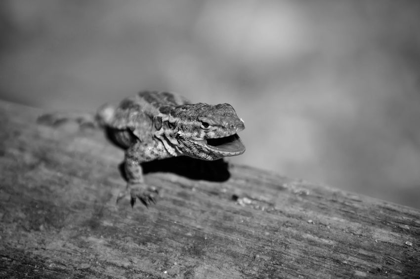 Lizard Nature Nature_collection Taking Photos Summer Hiking Shades Of Grey