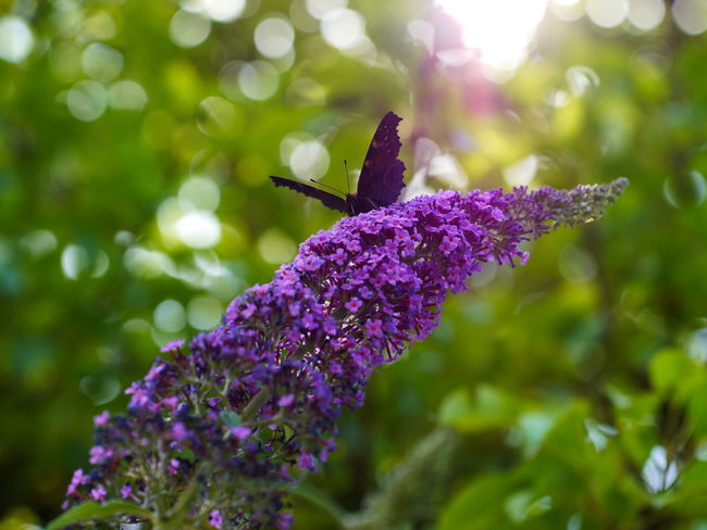 EyeEm Nature Lover Summertime Animal Animal Themes Animal Wildlife Animals In The Wild Beauty In Nature Butterfly Butterfly - Insect Close-up Day Flower Flower Head Flowering Plant Fragility Freshness Growth Insect Invertebrate Lavender Nature Naturelovers No People One Animal Petal Plant Pollination Purple Springtime Vulnerability