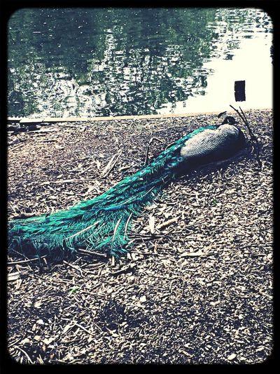 Peacock Day At