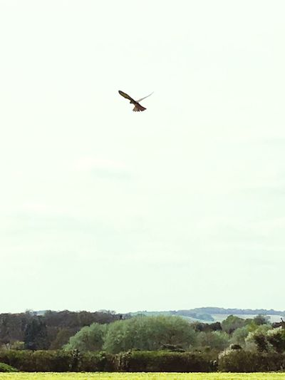 Picture of black kite. First Eyeem Photo