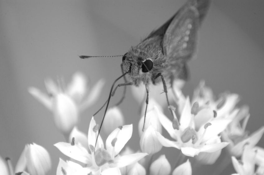 Nature Monochrome Flowers イチモンジセセリ Butterfly Monochrome Photography Skipper