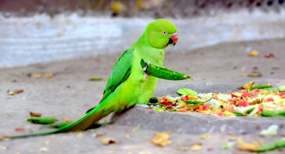 Close-up of parrot with green peas