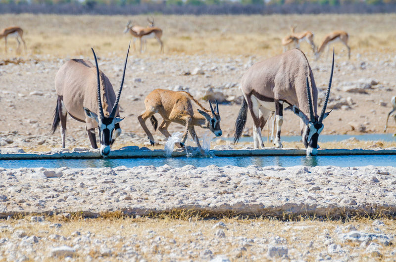Adult and young oryx antelope drinking from water hole at etosha national park, namibia