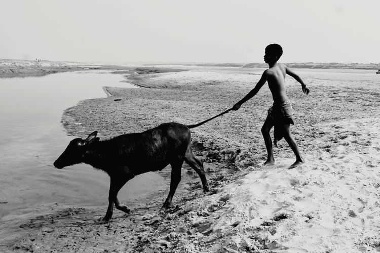 Cow Boy and the Buffalo are going to bath in the river Padma, India-Banglades border. Countryside Buffalo Cow Boy Boy Village People Childhood Wild Boys Nature Life Water Front  River Padma River Inadian River In Winter India Bangladesh People Of India Beach Sand Dune Sand Full Length Pets Silhouette Working Working Animal