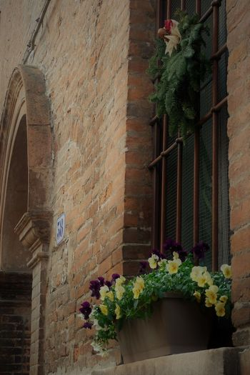 Christmas window in the old town Ferrara Italy. Ferrara is a city and comune in Emilia-Romagna, northern Italy Ferrara FerraraCity MedievalTown Travel Photography Architecture Brick Building Brick Wall Building Exterior Built Structure Christmas Decoration Christmastime City Day Flower Flowers Medieval Nature No People Outdoors Plant Window Window Box