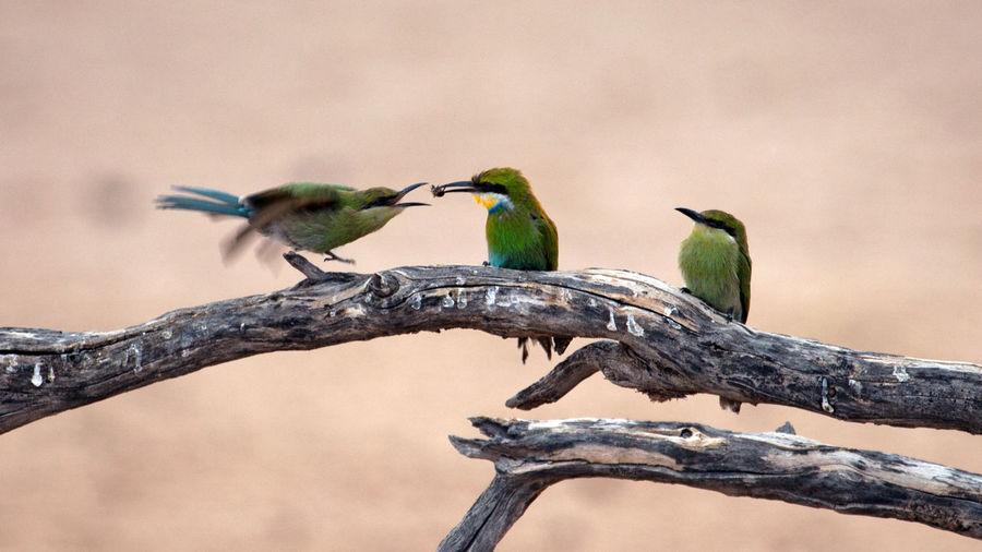 Birds Feeding Birds In Africa Birds In Wild Kgalagadi Kgalagadi South Africa Nature Perching Threes Company