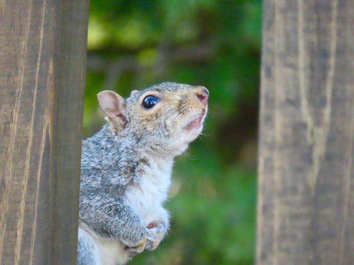 """""""Please sir, I want some more!"""" Squirrel closeup looking up selective focus animal themes One Animal Animal Wildlife Rodent"""