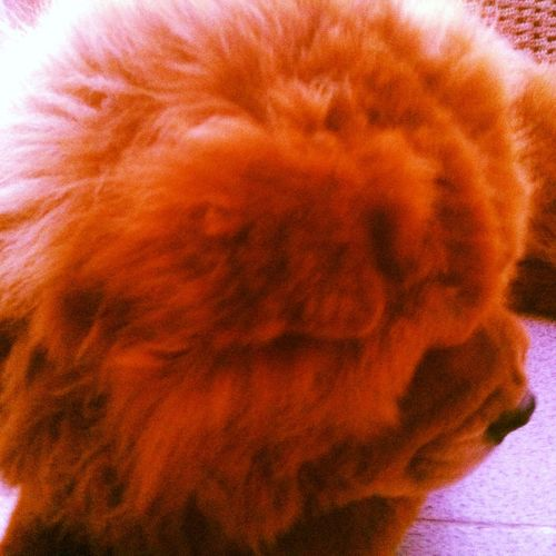 Zato My Dog ❤️ I Love My Dog ChowChow
